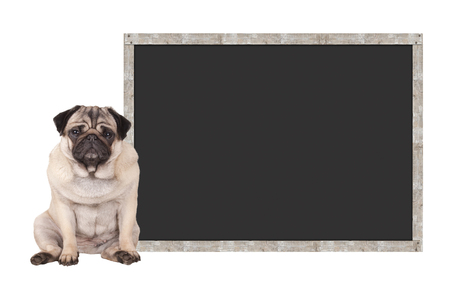 sweet cute pug puppy dog sitting down next to blank blackboard sign, isolated on white background