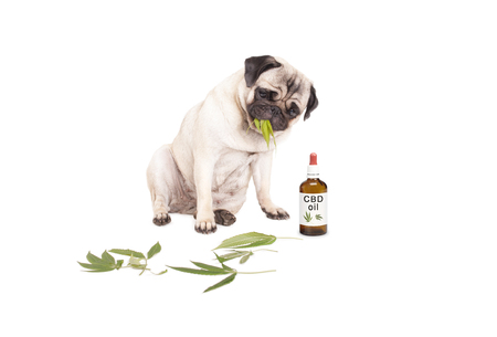 cute pug puppy pet dog eating weed, Cannabis sativa, leaves sitting next to dropper bottle of CBD oil for animals, isolated on white background