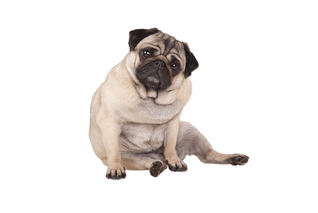 adorable cute pug puppy dog sitting down, isolated on white background