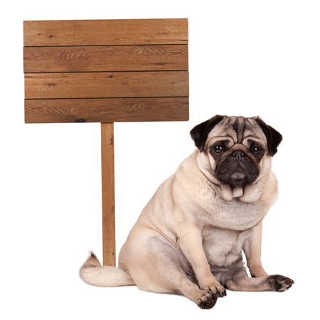 lovely cute pug puppy dog sitting down next to blank wooden sign on pole, isolated on white background