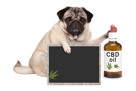 Chien mignon chiot carlin mignon assis avec une bouteille de signe de l'huile et le tableau noir CBD, isolé sur fond blanc Banque d'images - 78284755
