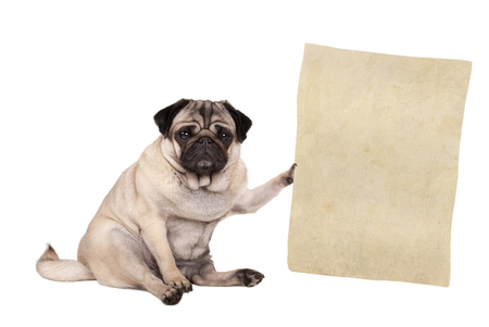 lovely cute pug puppy dog sitting down, holding paper scroll, isolated on white background