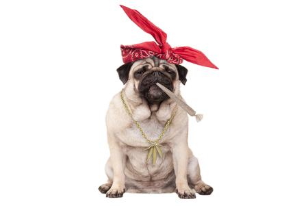 schattige pug puppy hondje hoog op roken marihuana onkruid gezamenlijke, geïsoleerd op een witte achtergrond