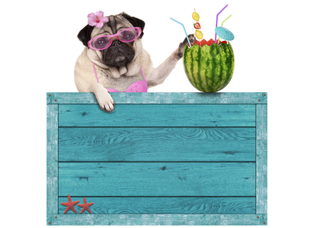 bikini babe pug dog with blue vintage wooden beach sign and watermelon cocktail, isolated on white background