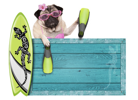 deportes nauticos: bikini babe pug dog with blue vintage wooden beach sign, surfboard and flippers for summer, isolated on white background