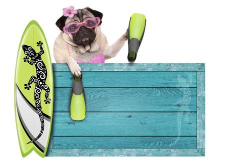 flippers: perro de pug del bebé bikini con signo de playa de madera vintage azul, tabla de surf y aletas para el verano, aislado sobre fondo blanco Foto de archivo