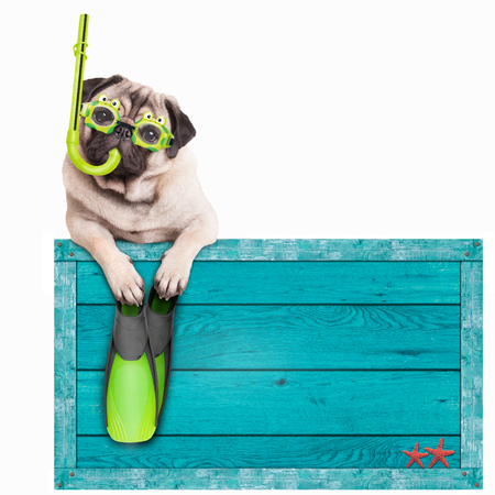 funny pug dog with blue vintage wooden beach sign, with goggles, snorkel and flippers for summer, isolated on white background