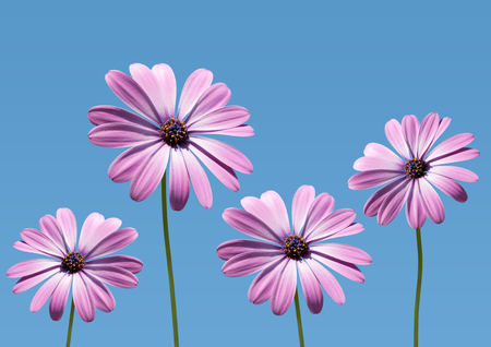 osteospermum: closeup of pink daisybushes, Osteospermum, with blue sky background Stock Photo