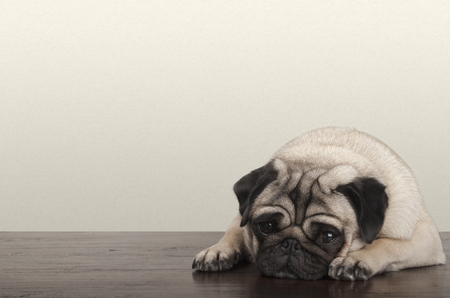 cute little pitiful sad pug puppy dog, lying down on wooden floor Stock Photo