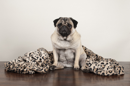 cute pug puppy dog sitting down on wooden floor with fuzzy leopard print blanket