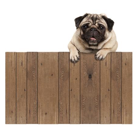 Schattige pug puppy hondje opknoping met poten op lege houten hek promotionele teken, geïsoleerd op een witte achtergrond Stockfoto - 80938600