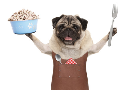 smiling pug dog wearing leather barbecue apron, holding up blue food bowl with kibble and fork, isolated on white background