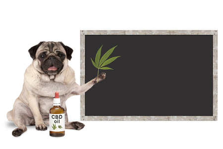 lächelnde Pug Welpen Hund mit Flasche CBD Öl und Hanf Blatt, mit leeren Tafel Zeichen, isoliert auf weißem Hintergrund