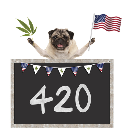 Happy smiling pug puppy dog waving American National flag of USA, with 420 on blackboard, isolated on white background Stock Photo