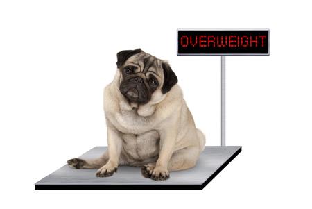 Cachorro de pug gordo pesado sentado en la escala veterinaria con signo de sobrepeso LED, aislado sobre fondo blanco. Foto de archivo - 81561390