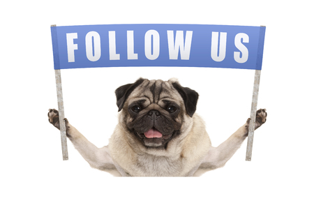 pug puppy dog holding up blue banner with text follow us for social media, isolated on white background