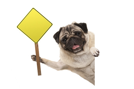 smiling pug puppy dog holding up blank yellow warning, attention sign, isolated on white background