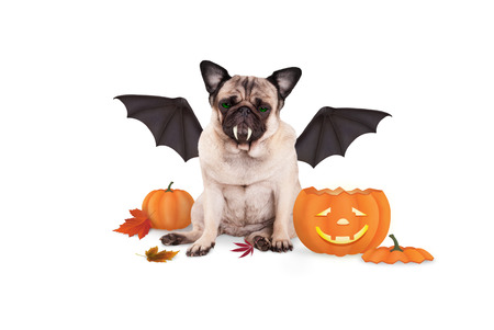 pug dog dressed up as bat for halloween, with funny pumpkin lantern, isolated on white background