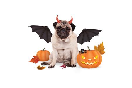 pug dog dressed up as devil for halloween, with  scary pumpkin lantern, isolated on white background