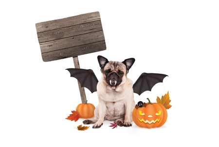 pug dog dressed up as bat for halloween, with  scary pumpkin lantern and blank wooden sign, isolated on white background Stock Photo