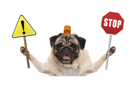 smiling pug dog holding up red stop sign  and yellow exclamation mark sign, with orange flashing light on head, isolated on white background Stock Photo