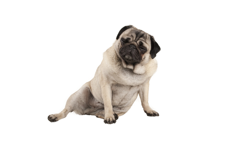 funny cool cocky pug puppy dog, sitting down with funny facial expression, isolated on white background