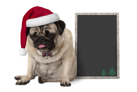 grumpy Christmas pug puppy dog with red santa hat sitting next to blank blackboard sign, isolated on white background