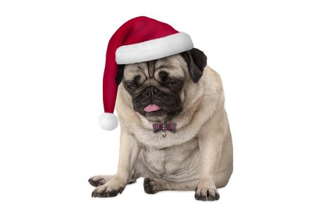 funny grumpy faced pug puppy dog with red santa hat for Christmas sitting down, isolated on white background