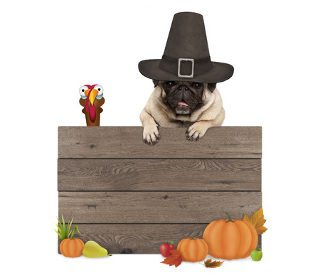grappige pug hond die pelgrim hoed voor Thanksgiving day, met lege houten teken en kalkoen, geïsoleerd op een witte achtergrond Stockfoto