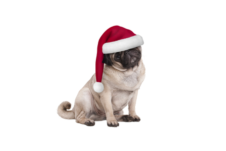 cute Christmas pug puppy dog with Santa hat, sitting down, isolated on white background