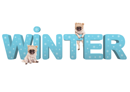 two cute pug dogs with knitted hat and 3d text Winter in light blue with snowflakes, isolated on white background