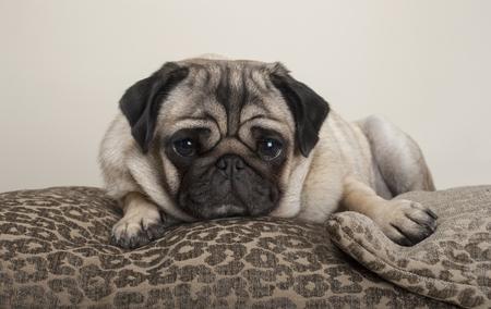 mooie lieve pug puppy hond, liggend op kussens, met leopard print