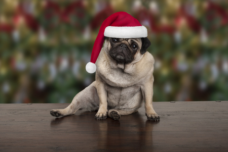 funny Christmas pug puppy dog sitting down on wooden ground, wearing santa claus hat, seasonal background