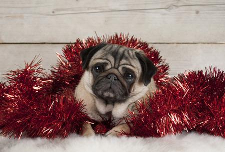 Leuke Kerstmis pug puppy hond, liggend in rood klatergoud op schapenvacht, met vintage houten achtergrond