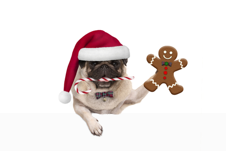 cute Christmas pug dog with santa hat and candy cane, holding up gingerbread man cookie, hanging on white banner, isolated
