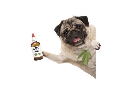 ładny uśmiechnięty mops szczeniak trzyma butelkę oleju CBD i liści konopi marihuany, na białym tle
