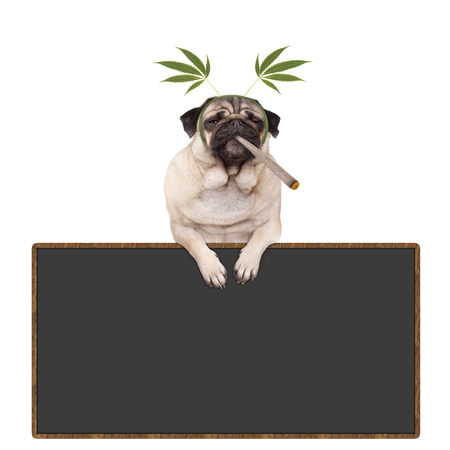 pug puppy dog being high, smoking marijuana weed joint, wearing hemp leaves diadem, hanging on blackboard sign, isolated on white background Stockfoto