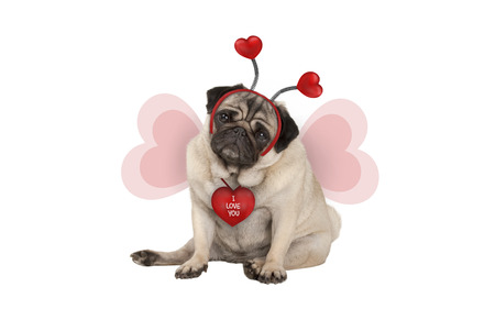 cute Valentines day pug puppy dog, sitting down, wearing hearts diadem and heart shaped wings, isolated on white background Stockfoto