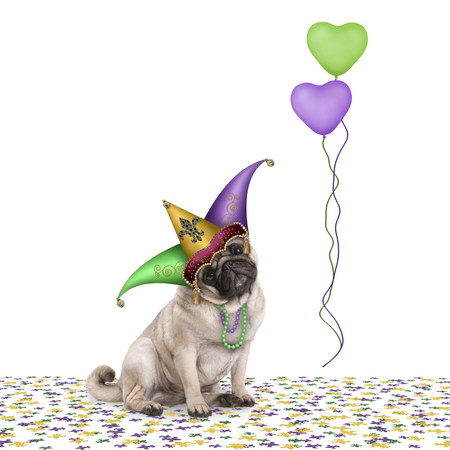 cute Mardi gras carnival pug puppy dog sitting down on confetti with harlequin jester hat and balloons, isolated on white background