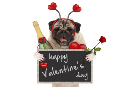 cute valentines day pug dog with blackboard, champagne bottle, hearts diadem and rose, isolated on white background