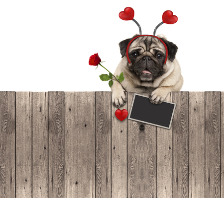 lovely pug dog with hearts diadem, blackboard and rose, hanging on wooden fence, isolated on white background Stockfoto