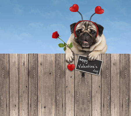 Valentines day pug dog with hearts diadem and rose, hanging on wooden fence, isolated on blue sky  background