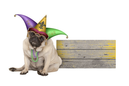 cute Mardi gras pug puppy dog sitting down with harlequin jester hat, next to wooden board, isolated on white background
