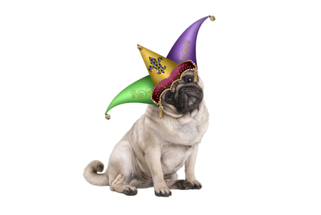 cute Mardi gras carnival pug puppy dog sitting down with harlequin jester hat, isolated on white background