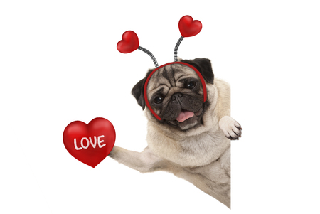 smiling Valentines day pug dog holding up red heart with text love, isolated on white background