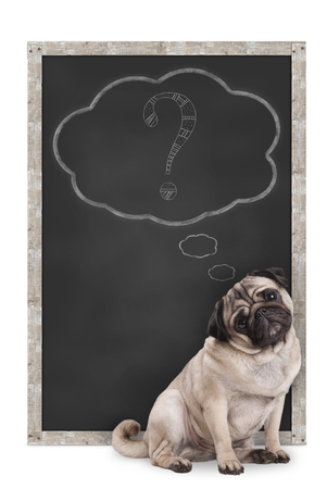 sweet smart pug puppy dog sitting in front of  blackboard with chalk question mark in thought bubble, isolated on white background