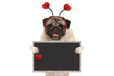 happy smiling Valentines day pug puppy dog with hearts diadem and blank blackboard sign in paws, isolated on white background