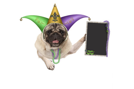 Mardi gras pug puppy dog with carnival jester hat, venetian mask and blank blackboard sign, hanging on white banner, isolated on white background
