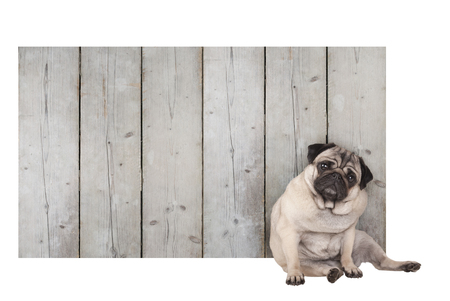 cute pug puppy dog sitting in front of blank wooden fence promotional sign of scaffolding wood, isolated on white background