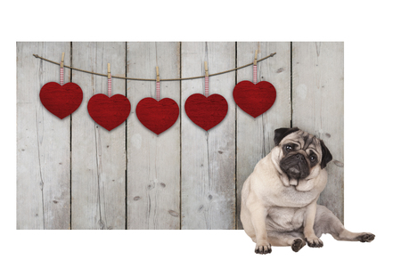 Cute pug puppy dog sitting down next to wooden fence of used scaffolding wood with red hearts, isolated on white background Stockfoto
